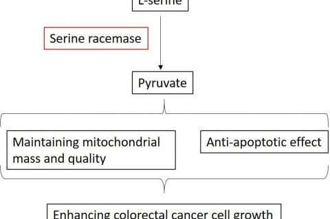 SRR-mediated dehydration of serine contributes to the pyruvate pool in colon cancer cells, maintains mitochondrial mass and leads to anti-apoptotic effect, resulting in enhancement of growth of colon cancer cells. (Credit: Osaka University)