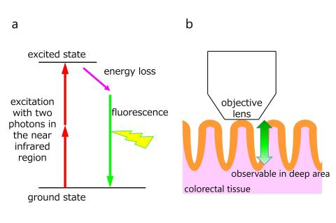 Principle of multiphoton excitation imaging technology : (a-b) In MPM technique, fluorescence is generated by excitation with multiple photons in the near infrared region, which have high tissue permeability (a). For these reasons, it is possible to observe deep regions from the surface (b). (Credit: Osaka University)