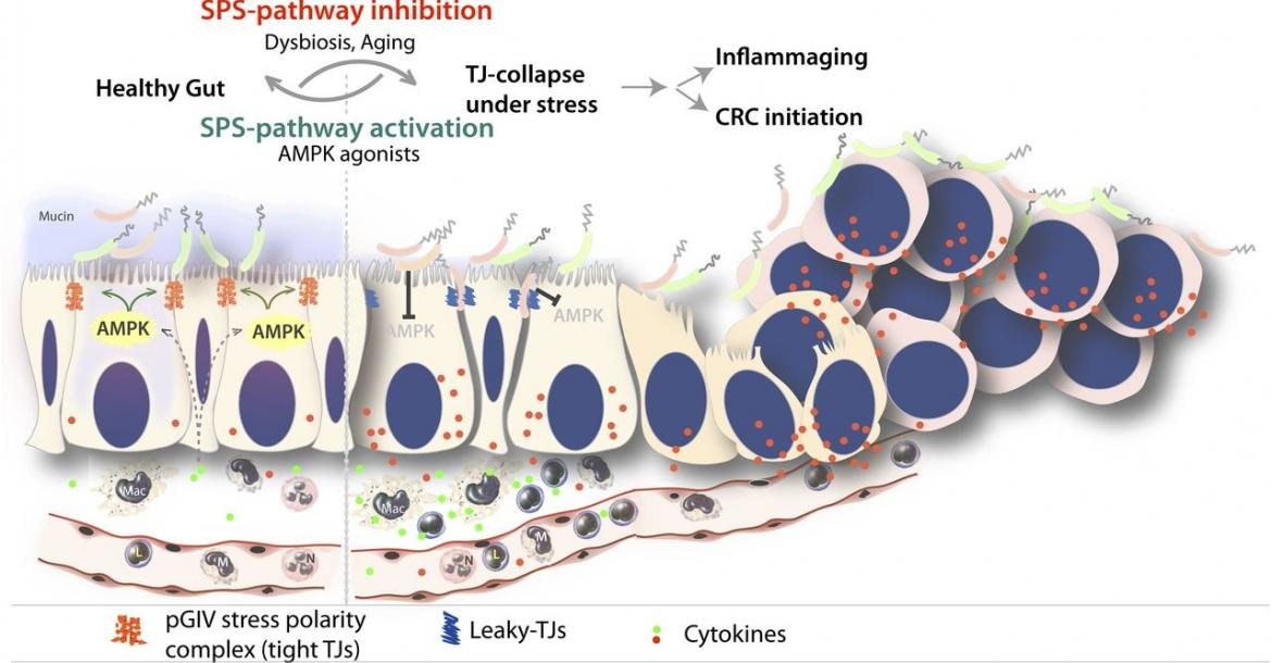 Figure 1: Summary of findings and working model - summary and proposed working model for the role of the stress polarity signaling (SPS) pathway in the gut barrier. Genetic, epigenetic or dysbiosis-induced inhibition of the SPS-pathway leading to stress-induced tight junction-collapse and loss of cell polarity. Loss of the SPS-pathway (in aging and during cancer initiation) is accompanied by collapse of epithelial tight junctions and loss of cell polarity, which is permissive to a gene expression signature